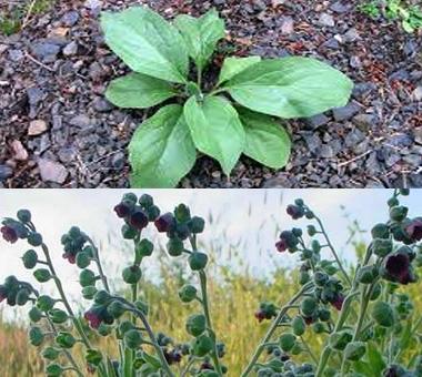 Montana Weed: Houndstongue