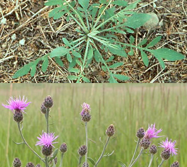 Montana Weed: Spotted Knapweed