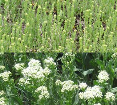 Montana Weed: Whitetop